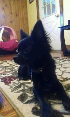 My black Chihuahua, Beetlejuice. He recently became allergic to his own stomach acid D: Black Chihuahua, Chihuahua Love, Chihuahua Puppies, Chihuahuas, Stomach Acid, All Things Cute, Beetlejuice, Puppy Love, Cute Dogs