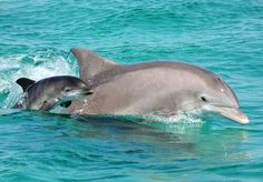 Dolphins are highly intelligent marine mammals and are part of the family of toothed whales that includes orcas and pilot whales. They are found worldwide, mostly in shallow seas of the continental. The Ocean, Ocean Life, Orcas, Cute Baby Animals, Animals And Pets, Strange Animals, Wild Animals, Baby Dolphins, Whales