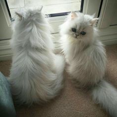 Persian Cat Gallery - Cat's Nine Lives Cute Cats And Kittens, Baby Cats, I Love Cats, Cool Cats, Kittens Cutest, Pretty Cats, Beautiful Cats, Animals Beautiful, Photo Chat