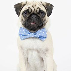Breed Of The Day: Pug | Dog Lovers Dogs - This is my beautiful pug Reus! That's Dutch for Giant, he is 7 months old now! He likes being naughty, food, kissing with my mom and dad, walking in the park and playing with other dogs!