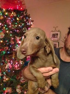 Adorable CKC Miniature ISABELLA/TAN Male Dachshund Puppy - 14 Wks Old