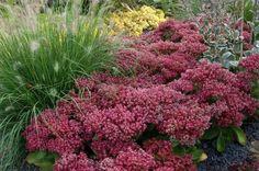 Rozchodnik 'Mr. Goodbud' – odmiana na słoneczne stanowisko, kwitnie w sierpniu i wrześniu, osiąga 40 cm wysokości i 60 cm szerokości. Doskonała odmiana na obrzeża rabat, do ogródków skalnych, do sadzenia w grupach lub pojedynczo.