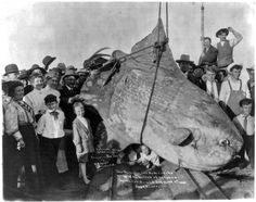 The monster sun fish caught by W.N. McMillan of E. Africa, at Santa Catalina Island, California on April 1, 1910. The weight was estimated at 3,500 lbs.