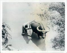 1965 Amusing Water Buffalo Patiently Endures Shaving Philippines Wire Photo Water Buffalo, Worlds Largest, Shaving, Philippines, Elephant, Rice, Animals, Ebay, Animales