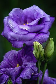 Des lisianthus bleu violacé.