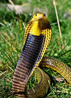 Photo by Markus Oulehla. Les Reptiles, Reptiles And Amphibians, Mammals, Beautiful Snakes, Animals Beautiful, King Cobra Photos, All About Snakes, Poisonous Snakes, Deadly Animals