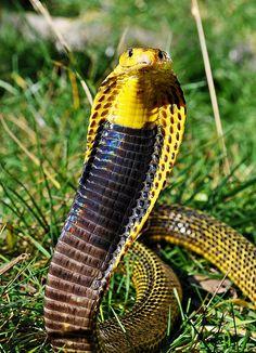Visayan Cobra | by markusOulehla