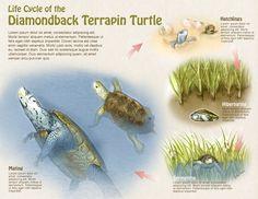 biological illustration - Google zoeken
