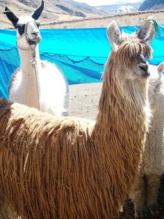 Suri alpacas Dalai Lama, Llamas, Alpaca Shearing, Farm Animals, Funny Animals, Suri Alpaca, Okapi, Ostriches, Down On The Farm