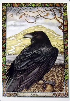My Favorite Raven pic. Druid Animal Oracle produced by Stephanie Carr-Gomm & Philip Carr-Gomm… Crow Art, Raven Art, Bird Art, Choucas Des Tours, Jackdaw, Crows Ravens, Animal Totems, Oracle Cards, Illustrations