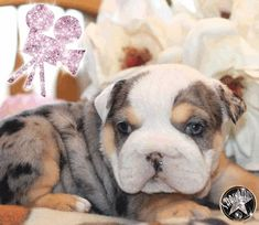Miniature Bulldog Pictures 6kdeud5m7l4 Dream Dog Dogs