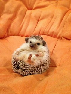 Definitely an opportunistic eater, Hedgehogs is one of the most interesting pets nowadays. But, how much do you take care of them? And, what do hedgehogs eat? Hedgehog Habitat, Cute Hedgehog, Animals And Pets, Funny Animals, Cute Animals, When Do Hedgehogs Hibernate, Funny Dogs, Funny Memes, All Things Cute