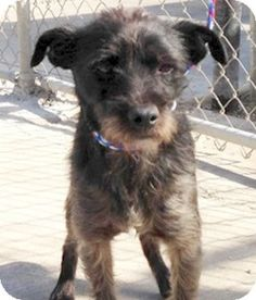 San Francisco, CA - Scottie, Scottish Terrier Mix. Meet Ben a Puppy for Adoption.