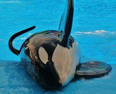 Orcas Seaworld, Tilikum Orca, Jason Lee Scott, Cute Whales, Whale Art, Back Photos, Killer Whales, Sea World, Ocean Life
