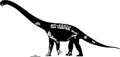 Savannasaurus elliottorum illustration showing position of bones. Titanosaure trouvé au Queensland en Australie. Auteur : Travis Tischler / Age Australian of Dinosaurs Museum of Natural History  (AAOD)