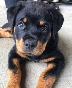 Rottweiler puppies sure are cute! These loving and loyal goofballs can make great pets. Thinking about bringing a Rottweiler puppy into your home? Here are a few things to know about these pups before you adopt. Cute Dogs And Puppies, I Love Dogs, Doggies, Cute Dogs Breeds, German Dog Breeds, Bulldog Breeds, Rottweiler Puppies, West Highland Terrier, Rottweilers