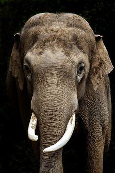 worldlyanimals: Elephant (Ander Aguirre)