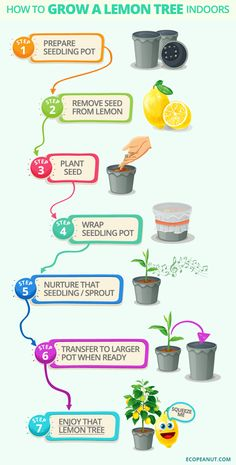 How to grow a lemon tree indoors easy Harvesting Indoors Lemon Lemons Peasy Squeezy Steps Tree Tree art Tree design Tree landspacing Tree to plant Lemon Tree Plants, Citrus Trees, Fruit Trees, Trees To Plant, Indoor Lemon Tree, Lemon Tree Potted, Indoor Tree Plants, Regrow Vegetables, Growing Vegetables