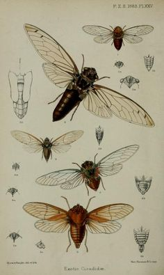 Cicada, Proceedings of the Zoological Society of London, 1883.