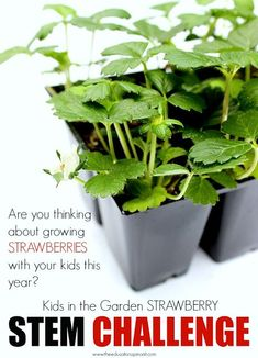 Strawberry STEM Challenge, learning science, technology, engineering, and math in the garden with kids. BUDGET FRIENDLY STEM Activity
