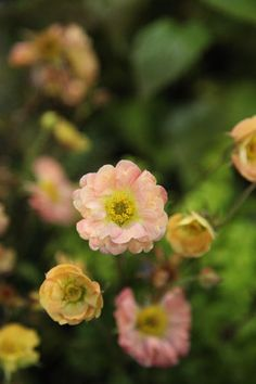 Geum 'Mai Tai' avens May to July