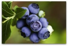 Blueberries are easy to grow in or near your vegetable garden. Select a variety that grows well in your climate zone. Fresh blueberries are such a treat; and extras can easily be frozen for later use!