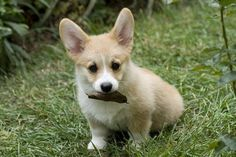 Pembroke Welsh Corgi Puppy    Short stubby legs, a long body, huge Yoda ears and a face that just makes you want to eat it up is the essence of the Corgi puppy. No wonder the Queen Mum fancies these canines so!