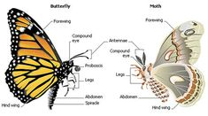 Butterfly and Moth Anatomy: Some of the anatomical features of butterflies and moths are shown in this illustration. Like all insects, th. Moth Vs Butterfly, Butterfly Facts, Butterfly Food, Butterfly Images, Butterfly Drawing, Largest Butterfly, White Butterfly, Butterfly Wings, Different Drawing Styles