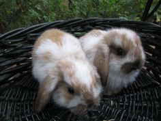 Holland Lop Bunnies- this is what my little girl looks like, only she's bigger