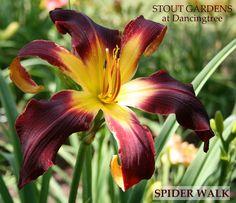 Daylily SPIDER WALK