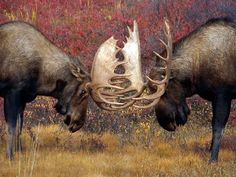 Two male moose fighting with their antlers