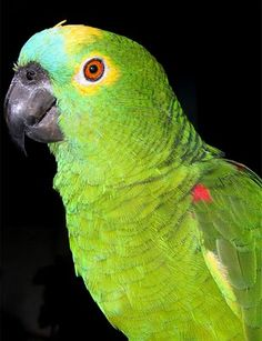 Papagaio                                                                                                                                                      Mais