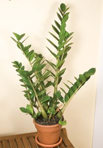 ZZ Plant, this is houseplant that I haven't managed to kill yet.  It's extremely easy to grow and loves neglect.  Perfect.