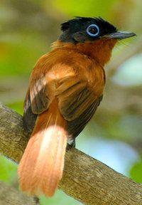 Malagasy Paradise Flycatcher.
