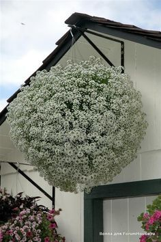 sterile alyssum: no deadheading and blooms through frost. Outdoor Plants, Outdoor Gardens, Container Gardening, Gardening Tips, Lavender Flower Girl Dress, Flowers Black Background, Summer Garden, Large Flowers, Amazing Flowers