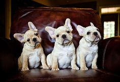 Moe, Curly & Larry! Starcreek Frenchies  by Robin Cook Photography http://flic.kr/p/6MhLUD