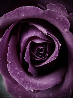 Purple Rose V by =CarlaSophia on deviantART