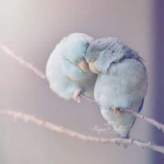 Love Birds When a photographer captures love between her parakeets | Ufunk.net