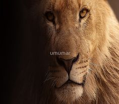 Cecil the lion suffered a lingering death at the hands of professional hunters, Let Cecil Be the Last – Ask South Africa and Zimbabwe to Ban Canned Hunting Let It Loose, Let It Be, Psalm 43, Safari Photo, Lindos Videos, Augustine Of Hippo, Anthony William, Like A Lion, Bible Verses