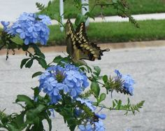 Butterfly & plumbago Planet Earth, Blue Flowers, Tropical, Plants, Butterfly, Image, Flora, Bow Ties, Butterflies