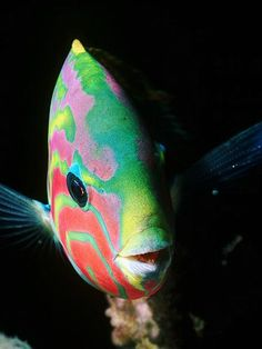 rainbow wrasse-what a beautiful fish! Underwater Creatures, Underwater Life, Ocean Creatures, Beautiful Sea Creatures, Animals Beautiful, Beneath The Sea, Under The Sea, Colorful Fish, Tropical Fish