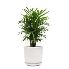 The Parlour Palm in ceramic pot is the perfect choice for a gift plant or an addition to your home or office space. Healthy plants delivered in Sydney. Palm Plant, Trees To Plant, Indoor Palms, Plants Delivered, White Pot, Bedroom Plants, Parlour, Low Lights, Plant Care