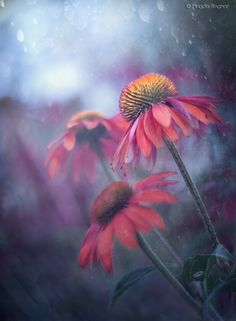 Photo Echinacea by Magda Bognar on Blossom Flower, Flower Art, Photoshop Photography, Creative Photography, Flower Wallpaper, Botanical Art, Colorful Pictures, Watercolor Flowers, Flower Power