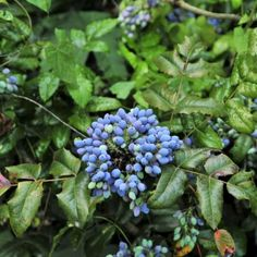Compact Oregon Grape Holly | Nature Hills Nursery Tall Plants, Large Plants, Healthy Delivery, Shrubs For Sale, Oregon Grape, Small Shrubs, Flowering Shrubs, Flower Farm, Hedges