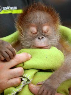 Female orangutan baby Rieke is shown during a news conference at the Berlin Zoo Friday Feb. Zoo Animals, Cute Baby Animals, Animals And Pets, Orang Utan, Monkey And Banana, Baby Orangutan, Ape Monkey, Beautiful Birds, Stay Warm