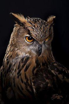 Owl by Javier Senosiain Jimeno on – Animal Planet Owl Bird, Bird Art, Pet Birds, Owl Photos, Owl Pictures, Beautiful Owl, Animals Beautiful, Regard Animal, Animals And Pets