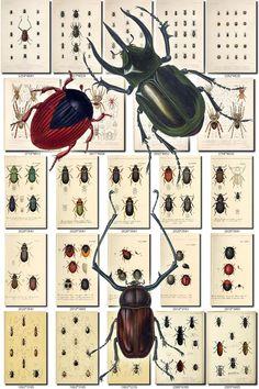 INSECTS-67 Collection of 203 vintage illustration Spider Crab Abax, Abryna, Acalles, Acanthoderus, Acanthodis, Acanthopelma, Acmocera, Acridium, Acronia, Acupalpus, Adelium, Adetus, Adoretus, Adorium, Agabus, Agathidium, Agriotes, Agrypnus, Akela, Akis, Alcides, Amarygmus, Amphionycha, Amycus, Anacamphthorina, Anchastus, Anchomenus, Ancylonycha, Anisotoma, Anoka, Anomala, Anoplognathus, Anoplosthaeta, Antarctia, Anthrenus, Anthribus, Anyphaena, Apenes, Aphod