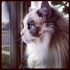Beautiful kitty! Another pinner: My ragdoll cat, Stella. #ragdollcatbicolor