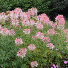 Cléome Cherry Queen : donnez de la hauteur aux massifs avec cette belle grande plante à la fleur en boule ajourée et aérienne. Un petit air champêtre.