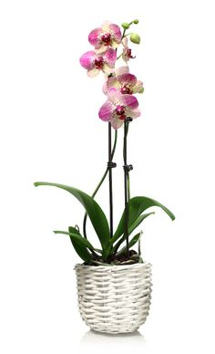 Choose a pot color to complement your orchid...like this wicker white one! Is this neutral tone your favorite pot color? Enter our pin to win campaign here: www.facebook.com/justaddiceorchids #justaddiceorchids